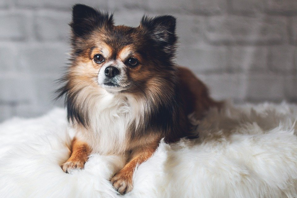 Care Tips for Miniature Dog Breeds